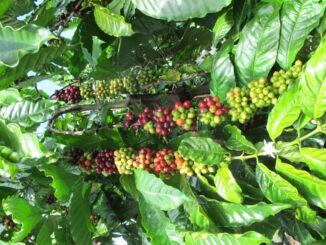 thị trường cà phê